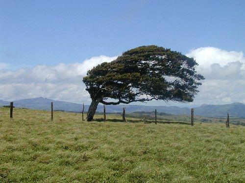 Windblowntree